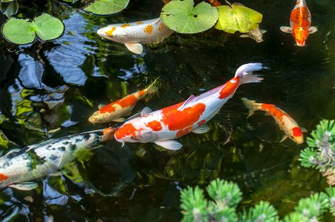 Koi Farm Pond Fish Breeder Sales Canandaigua NY
