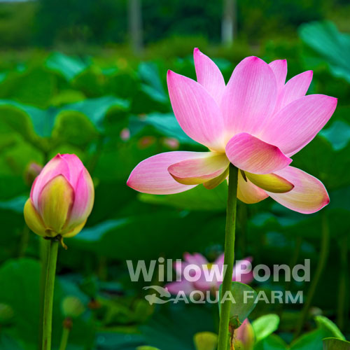 Water Lilies Tropical for Sale